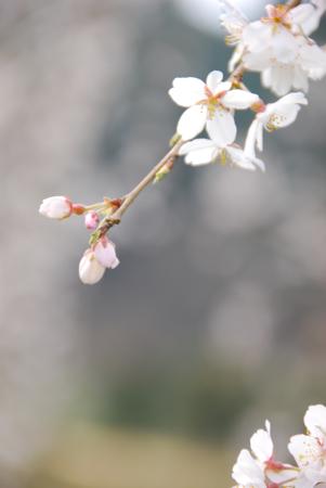 sakurai_a3.jpg